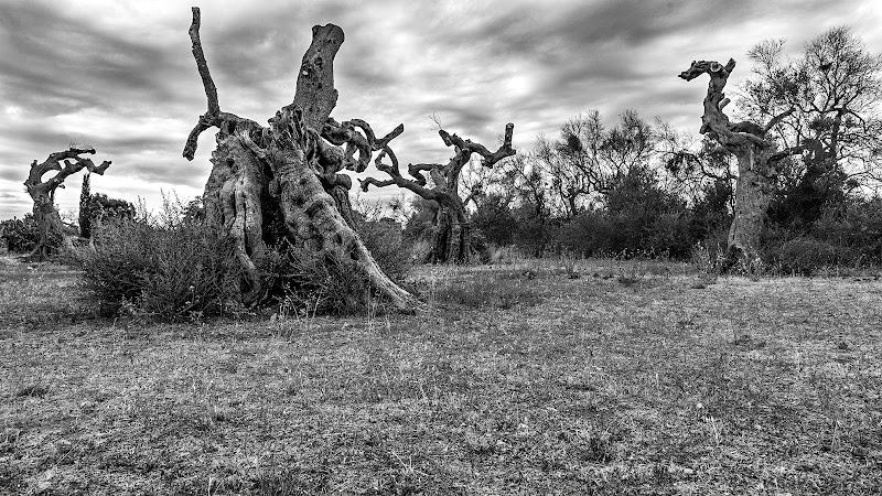 Olivi Secolari di Muttley