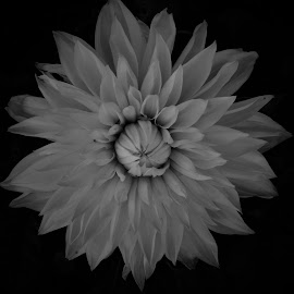 Ghost Rose by Lavonne Ripley - Black & White Flowers & Plants