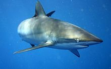 Description: Carcharhinus falciformis - wiki.jpg