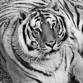 by Kane Bertola - Animals Lions, Tigers & Big Cats