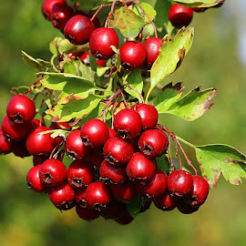 Heavy with Berries by Chrissie Barrow - Nature Up Close Other Natural Objects