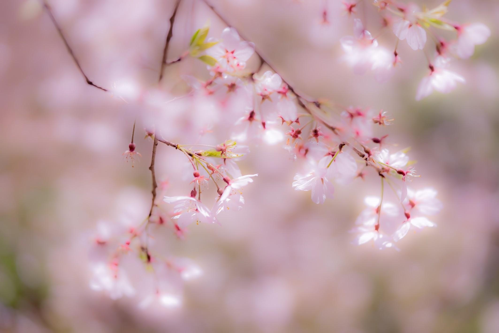 Kyoto gyoen Konoe Mansion site cherry blossoms7