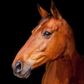 Bay Thoroughbred Cross Gelding Portrait  by Vicki Roebuck - Animals Horses ( black background, equine photography, bright bay, thoroughbred, gelding )