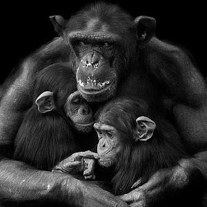 Chimp Family Z4 bw.JPG
