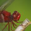 Scarlet Skimmer