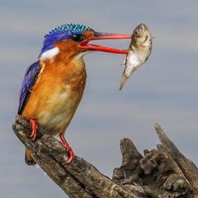 Malachite Kingfisher by Dirk Luus - Animals Birds ( bird, animals, kingfisher, wildlife, malachite,  )