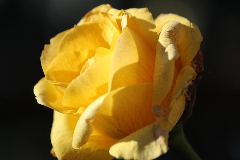Rosa di casa di simone_macciocca
