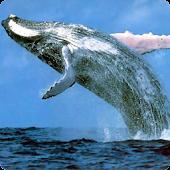 Humpback Whale live wallpaper