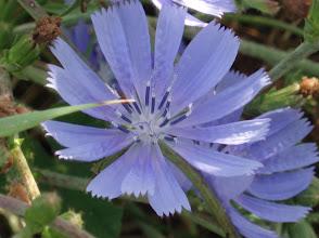Photo: Common Chicory