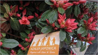 Photo: Azalea Japonica -  de pe Str. Stefan cel Mare, Nr.19, Magazin Dedeman - 2018.04.13
