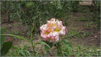 Photo: Trandafir (Rosa)  - Str. Salinelor, Nr.4, curte - 2019,07.14