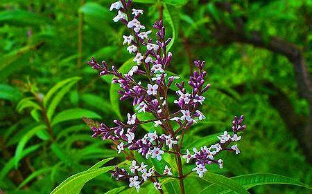 Λουίζα: Το βότανο με τις μαγικές ιδιότητες