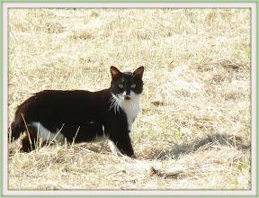 Photo: Cat hunting in field, near Napa CA