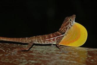 Photo: Norops polylepis 4, Esquinas Rainforest (8:42/-83:12), 19-05-2006, Author: Erwin Holzer, det. Gerardo Chaves