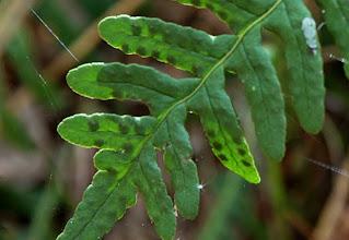 Photo: Polypody fern with sori