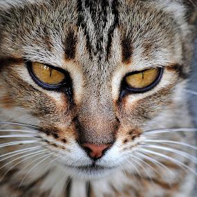 by Jime Fernandez - Animals - Cats Portraits