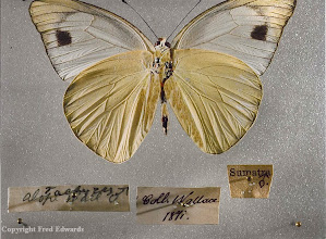 Photo: Appias alope, a butterfly named by Wallace in 1867. This specimen was collected by him in Sumatra and printed label shows that it was part of his private collection. © Oxford University Museum & Fred Edwards