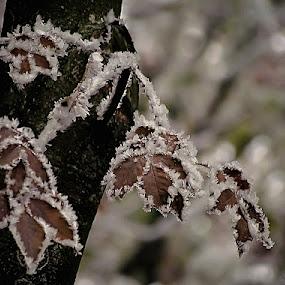 frozen fan by Mirela Korolija - Nature Up Close Leaves & Grasses
