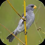 Bird songs Patativa Chorão icon