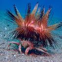 Sea Urchin Carrying Crab