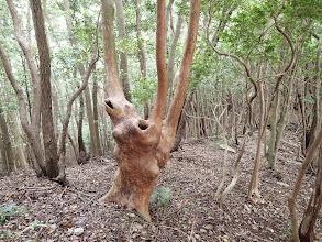 不気味な木(ヒメシャラ?)…