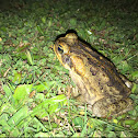Cane toad (female)