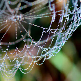 Pearls by Yvette O Beirne - Nature Up Close Webs ( dew, pearls, drops, spider, web )