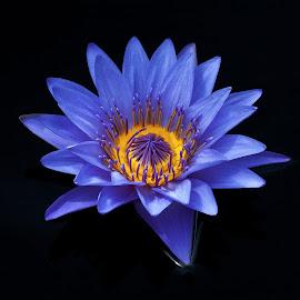 Blue Lily by Jon Kinney - Flowers Single Flower