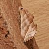 Deadleaf moth?