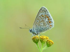 Photo: Hauhechel-Bläuling, Голубянка икар, Mariposa Ícaro  http://lepidoptera-butterflies.blogspot.com/