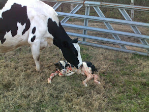 Photo: A cow begins to lick her newborn calf clean.