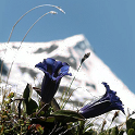 The World of Alpine Flowersie icon