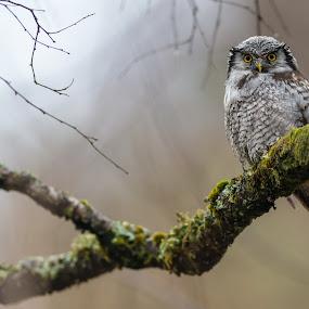 Hawk owl by Kjetil Salomonsen - Animals Birds