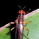 Snail-killing fly / marsh fly