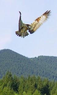 Falconry - náhled