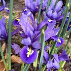 Netzblatt Iris