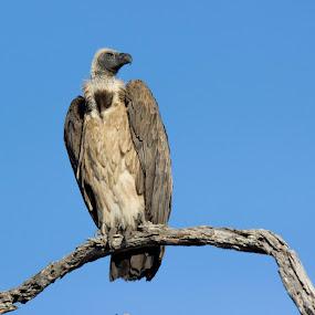 What you wanna do by Ailsa Burns - Animals Birds ( bird, vulture, bird of prey, africa, birding )
