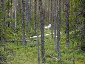 Photo: 'Santa Claus' reindeer - a rare white morph