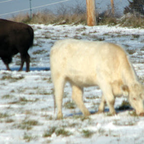 OPPOSITES by Phil Williams - Animals Other Mammals ( cow, buffalo; snow; winter day )