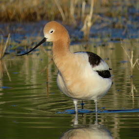 American Avocet  by Nick Swan - Animals Birds ( avocet, nature, wading bird, wildlife )