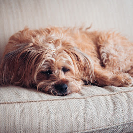 Sleepy Puppy by Chris Wheeler - Animals - Dogs Portraits ( puppy, couch, dog, terrier, sleeping,  )
