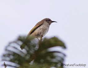 Photo: Brown Honeyeater - Lichmera indistincta © NF Photo 140907 at Cassowary House, Queensland, Australia http://nfaubird.blogspot.se/2014/12/brown-honeyeater-lichmera-indistincta.html