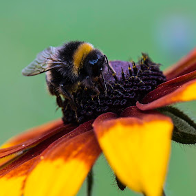 by Kiril Kolev - Animals Insects & Spiders ( bee, beauty, insects, flowers, bokeh, flower,  )