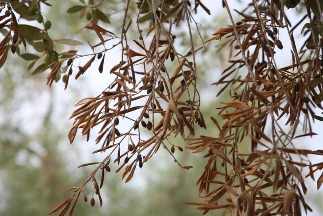 Galho de uma árvore de oliveira seco, atacado pela bactéria