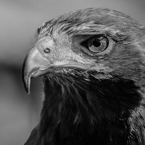 Harris hawks by M. Andersen - Black & White Animals (  )