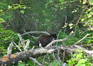 Photo: Bear about 1 mile from end of trail