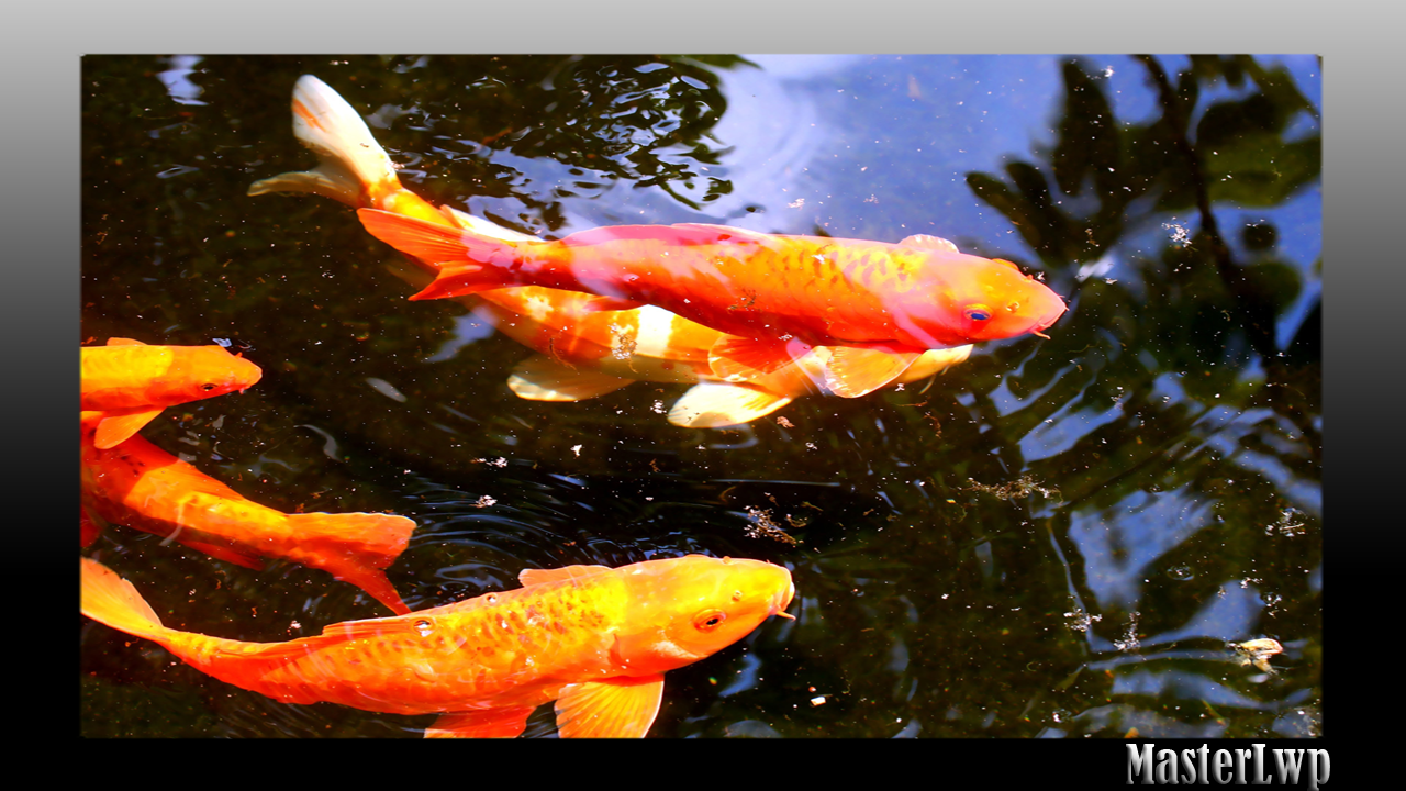 Koi fish wallpaper android apps on google play for Koi fish games