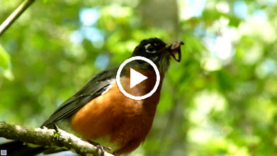 Video: May 1, 2013 - Robin has a worm for its young but is alarmed as it has seen an owl in a tree nearby.