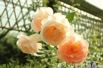 Photo: 拍攝地點: 梅峰-溫帶花卉區 拍攝植物: 玫瑰 拍攝日期:2012_07_24_FY
