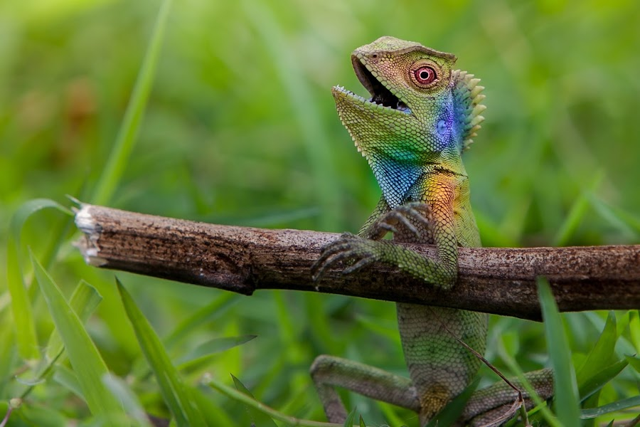 Colorful Forest Dragon by Ircham Sujadmiko - Animals Reptiles ( reptile,  )